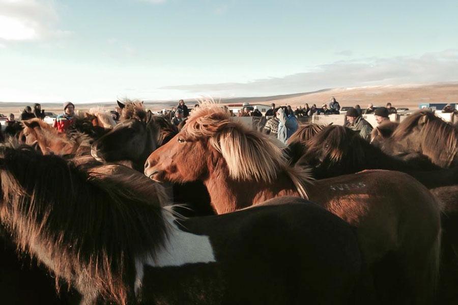 Får och hästinsamling på Island