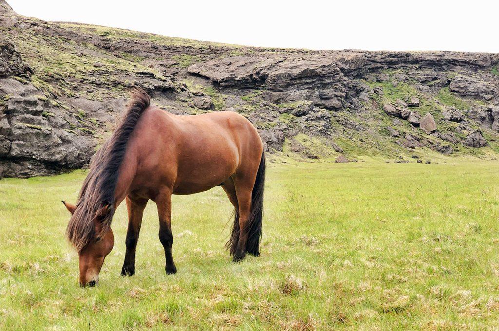 Islandshästar och vad man använder dom till