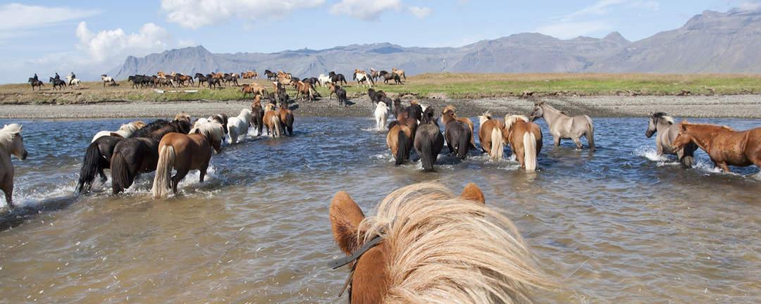 Rida på Island med ryttare och hela flocken islandshästar på väg upp ur vattnet