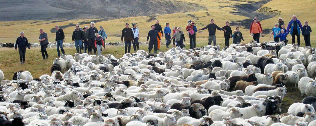 Fårinsamling vid Auðkúlurétt på nordvästra Island