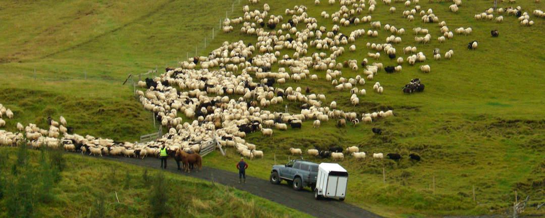 Fårinsamling på islandshäst till Reykjaréttir på Island