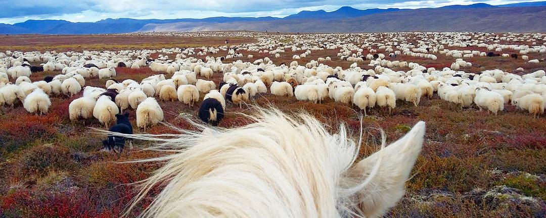 Fårinsamling på islandshäst i Melrakkaslétta på nordöstra Island
