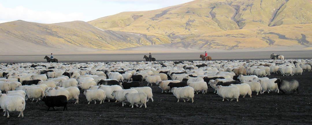 Fårinsamling i Landmannaafréttur på Island