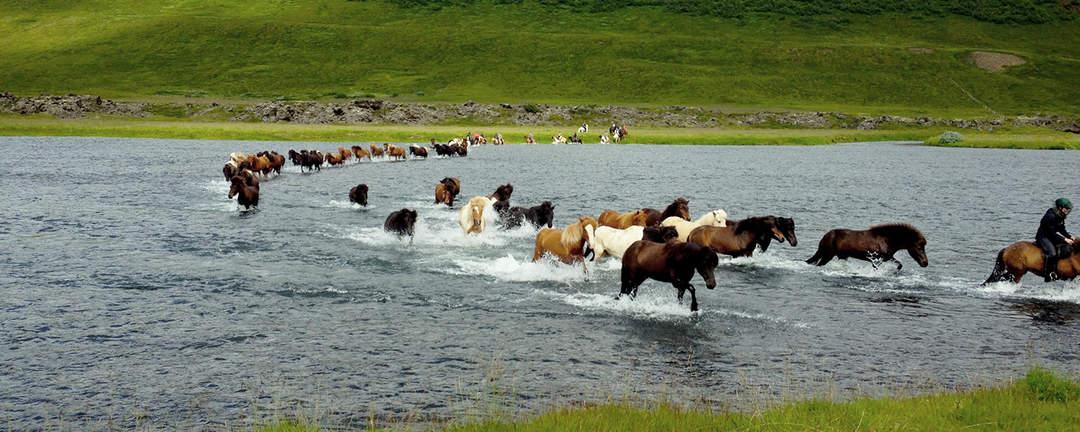 Islandshästar som passerar en älv