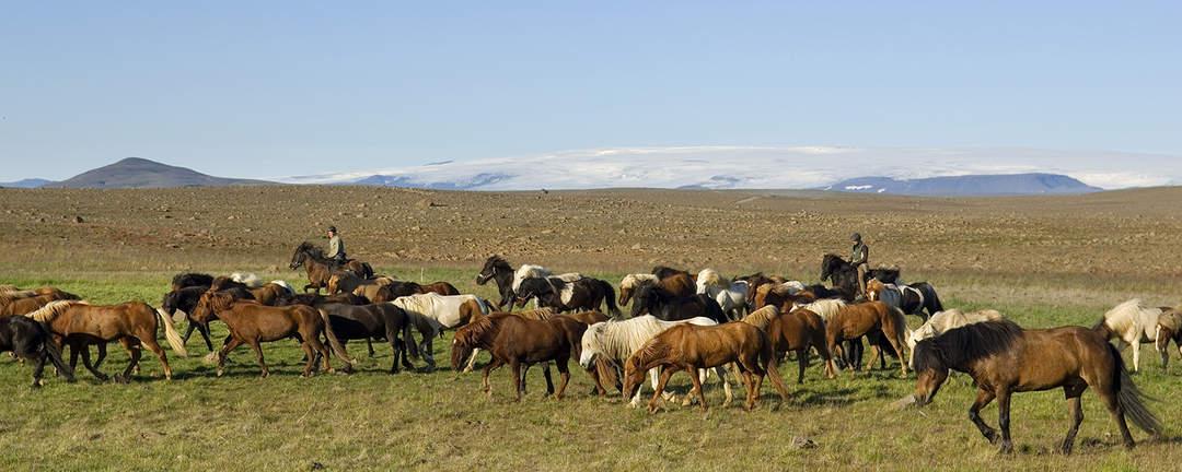 Rider tillsammans med en flock islandshästar
