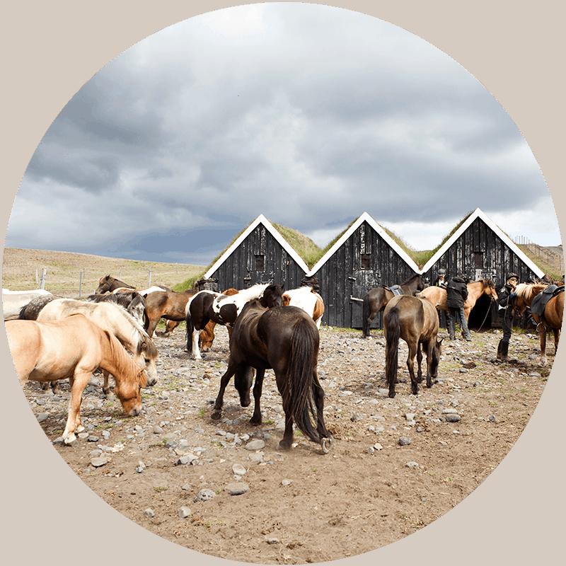 Ridresor för erfarna ryttare på Island