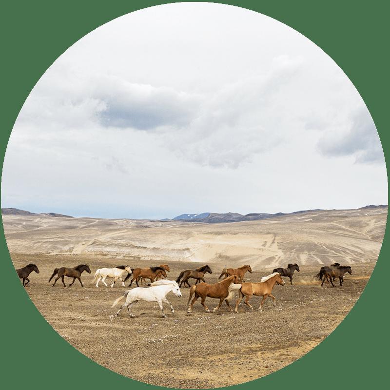 Islandshästar i det Isländska höglandets vildmark