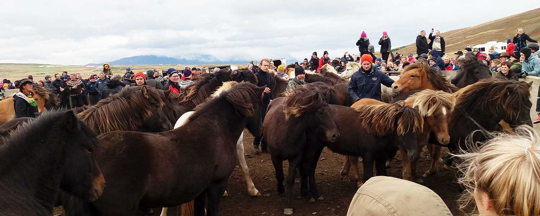 Insamling av islandshästar