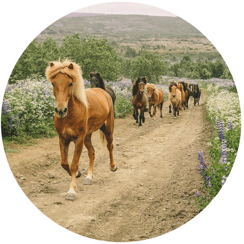 Hästresor på Island