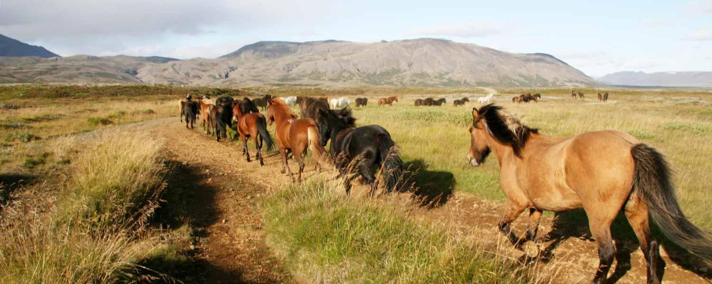 Flock med islandshästar