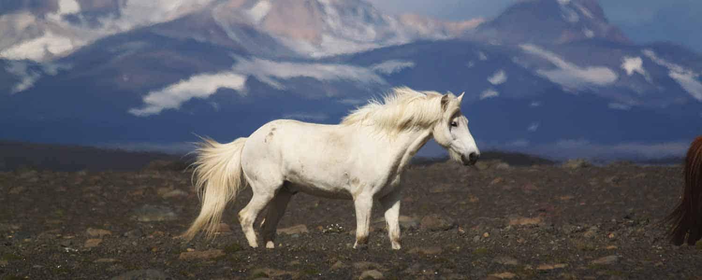 Vacker vit islandshäst