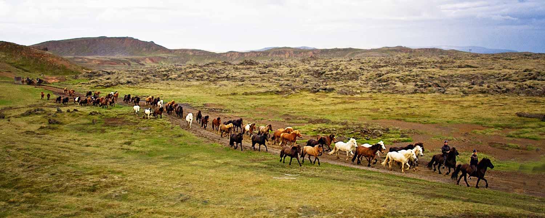 Rider med massor av islandshästar i följe