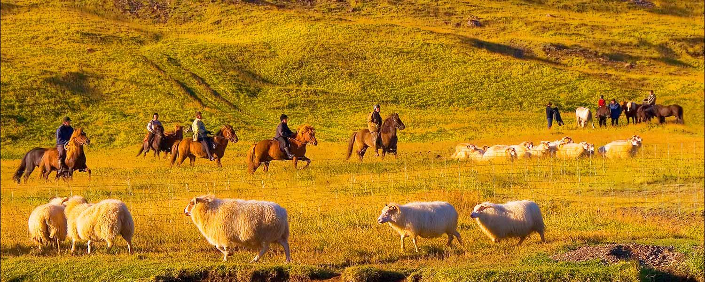 Samlar in får med islandshäst