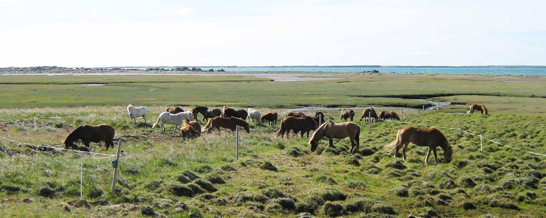 Islandshästar som betar i gröngräset