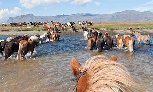 Vilda islandshästar går över flod