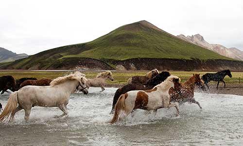 Islandshästar springer över bäck på Island