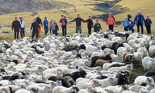 Familjeresa med fårinsamling på Island