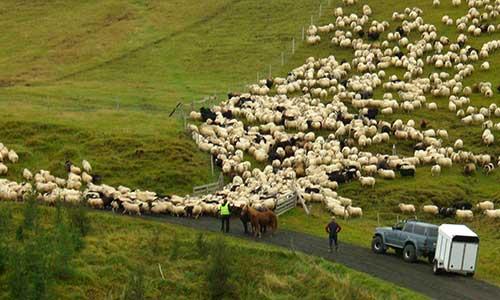 Ridweekend med fårinsamling