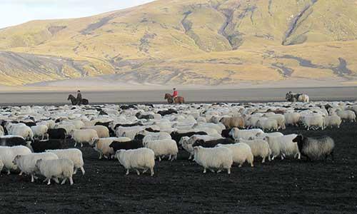 Fårinsamling på Islandhäst