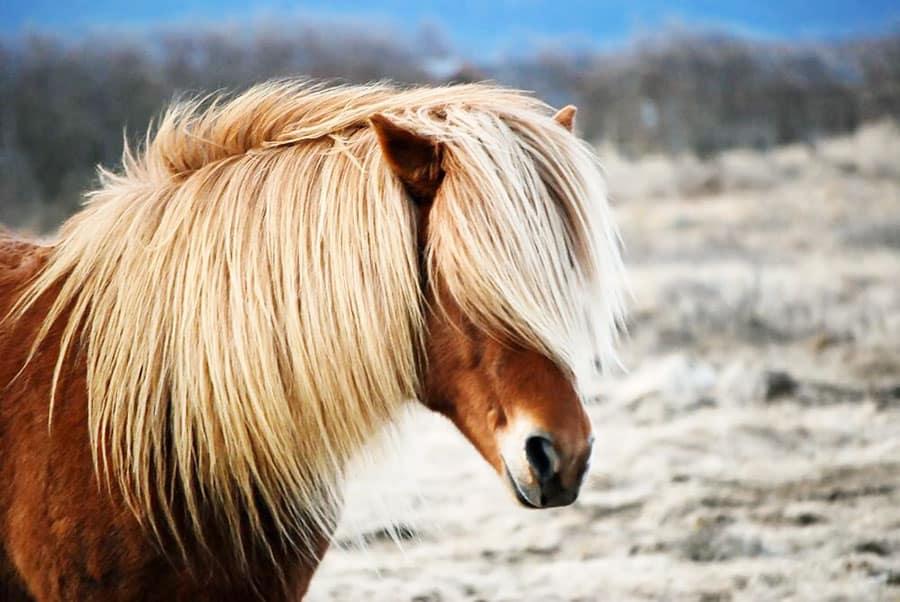 vacker islandshäst