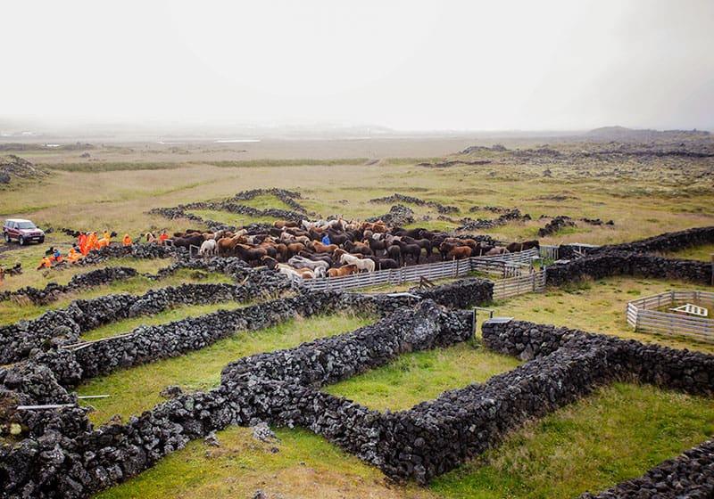 Hästinsamling på Island