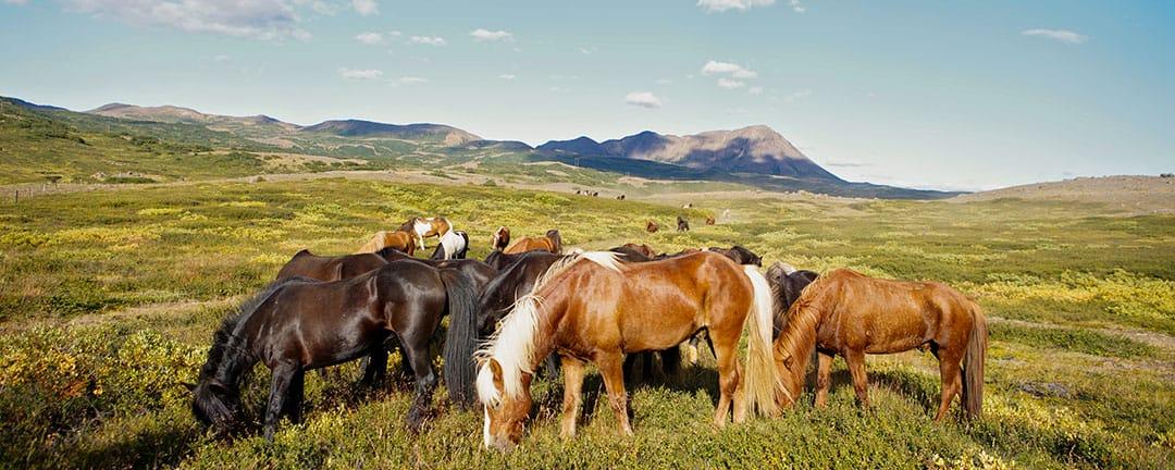 ridresa Island med ryttare och islandshästar under midnattssolen