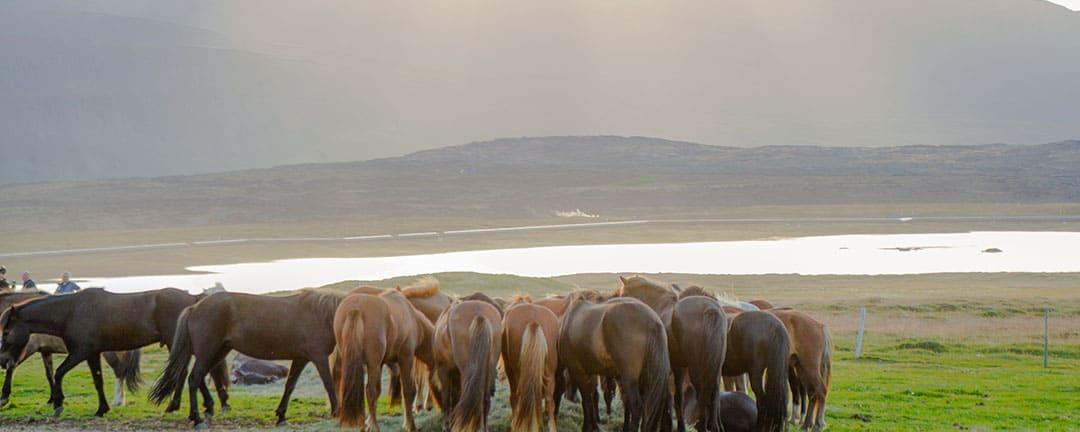 ridresa med islandshästar under midnattssolens sken